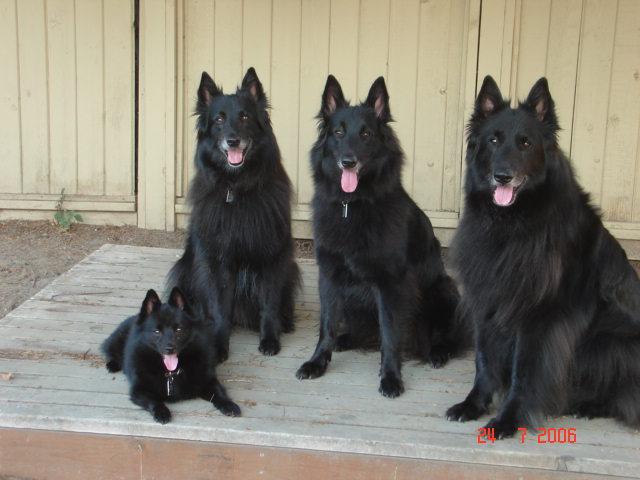Belgian Sheepdogs